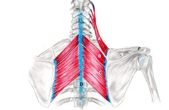 Gestatten – Mediale Schulterblattmuskulatur